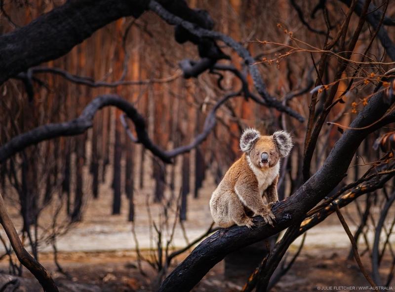 [オーストラリアの火災で被害を受けた野生動物と自然環境のために]の画像