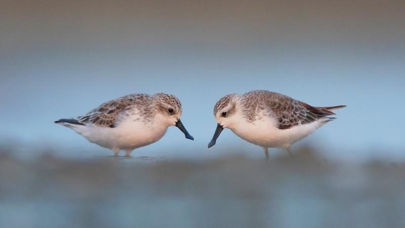 [「ヘラシギ」が姿を消す前に 絶滅が危惧される渡り鳥を守ろう]の画像
