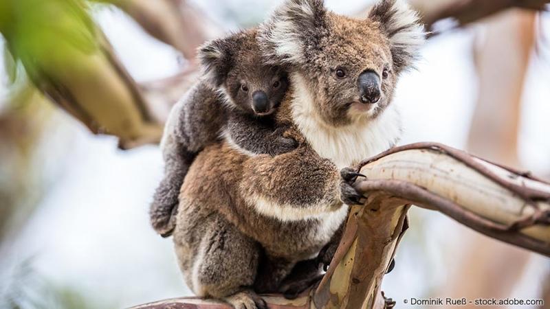 [コアラの森を守ろう! オーストラリア東部森林保全募金(WWFジャパン)]の画像
