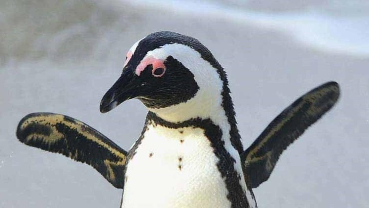 [ケープペンギンを守る保護活動にご協力下さい]の画像