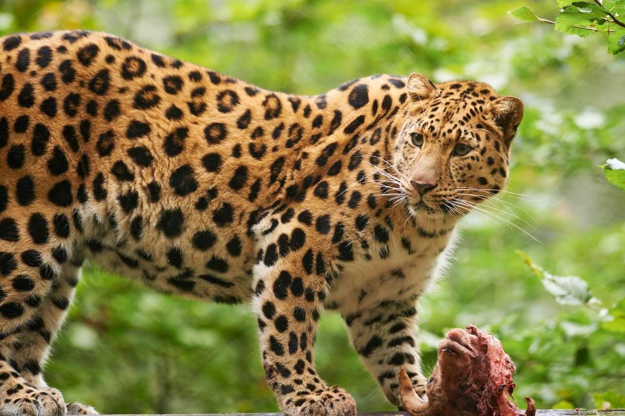 [トラやヒョウが生きる森~極東ロシアの森林保全を支援]の画像